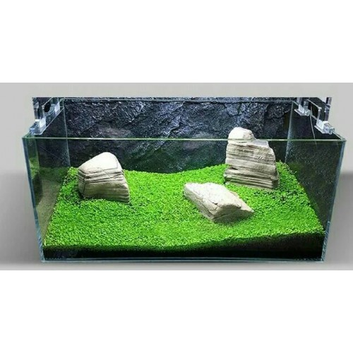 Bibit Benih Tanaman Air Carpet Seed Aquascape Aquarium ...