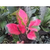 Tanaman Hias Agloanema Kochin Pink