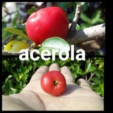 Acerola/barbados manis siap berbuah