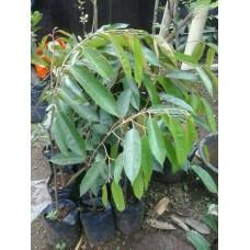 Durian Pelangi Papua