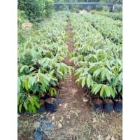Paket 10 tanaman Durian Marahari