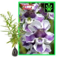 Tanaman Angelonia Bicolor