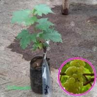 Tanaman Anggur Hijau Belgia
