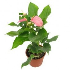 Tanaman Anthurium Mini Pink