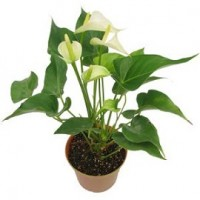 Tanaman Anthurium Mini Putih