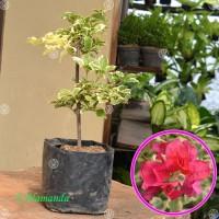 Tanaman Bougenville Merah Variegata ( Bunga Kertas )