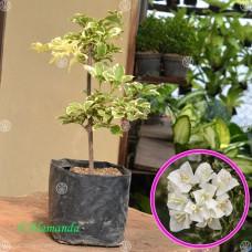 Tanaman Bougenville Putih Variegata (Bunga Kertas)
