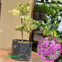 Tanaman Bougenville Ungu Variegata (Bunga Kertas)