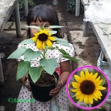 Tanaman Bunga Matahari Mini