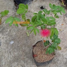 Tanaman Calliandra Merah