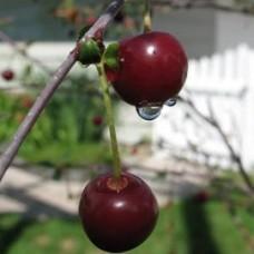 Tanaman Cherry Jepang 30-40cm