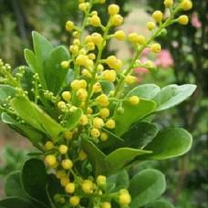 Tanaman Chinese Parfume Tree
