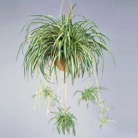 Tanaman Chlorophytum Spider