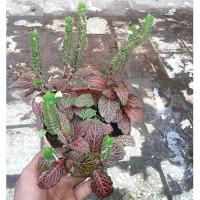 Tanaman Fittonia Ungu