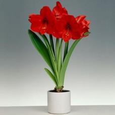 Tanaman Hias Amaryllis Merah
