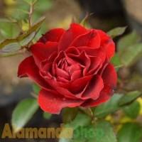 Tanaman Mawar Floribunda Merah