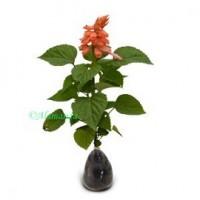 Tanaman Hias Salvia Pale Pink
