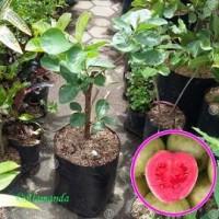 Tanaman Buah Jambu Biji Getas Merah ( Cangkok )