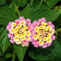 Tanaman Lantana Pink 2 Pcs