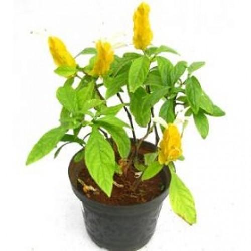 Tanaman Lolipop (Bunga Lilin)