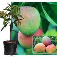 Tanaman Mangga Agrimania 50cm