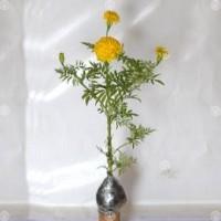 Tanaman Marigold Kuning