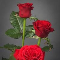 Tanaman Mawar Tanpa Duri