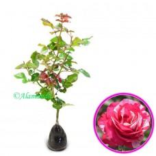 Tanaman Mawar candy Pink