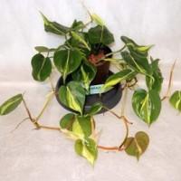 Tanaman Philodendron Brazil