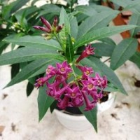 Tanaman Purple Cestrum Jasmine