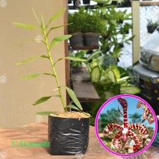 Tanaman Scorpion Orchid