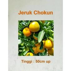 Bibit Jeruk Chokun siap berbuah