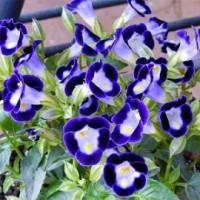 Tanaman Torenia Ungu (Bunga Mata Kucing)