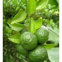 Jeruk sambal atau limau