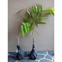 2 Durian Bawor(Kaki tiga)Musangking