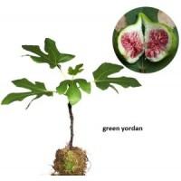 Tin Green Yordan