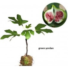 Tin Green Yordan