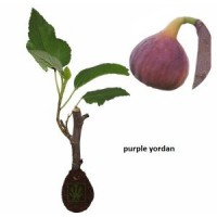Tin Purple Yordan