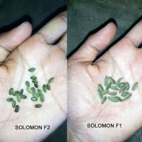 Sengon Solomon F1 10g