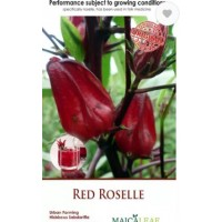 Bibit Bunga Rosella Merah - Red Rosella Maicaleaf 10s
