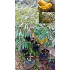 Bibit Durian Montong 80-100 cm