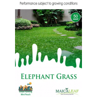 Bibit Rumput Gajah Mini - Maica Leaf Elephant Grass 50s