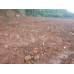 Bibit Rumput Gajah Odot Untuk Pakan Ternak Siap Tanam (Per Kg)